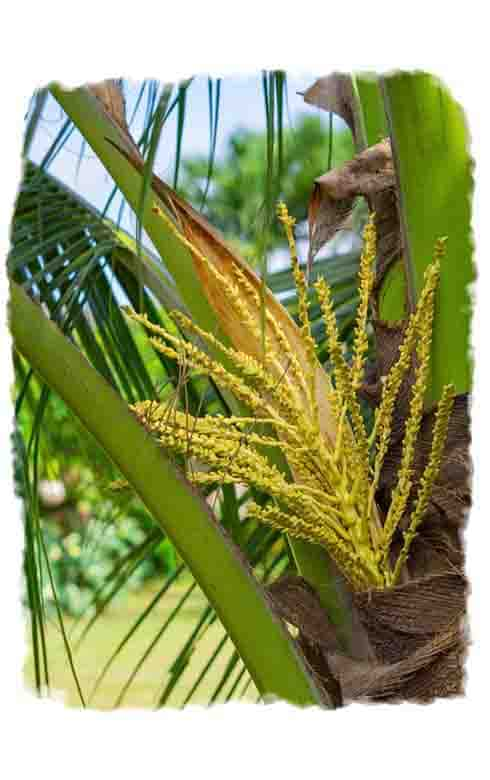 Coconut blossom growing on a palm tree