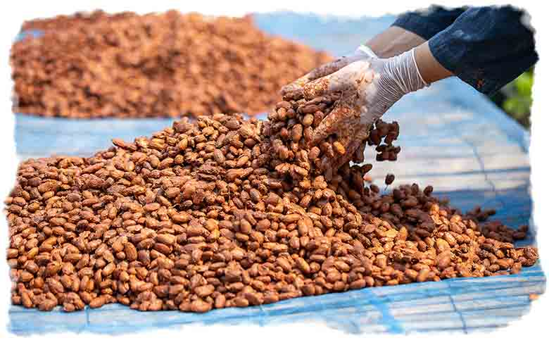 A farmer drying the cacao beans in the sun