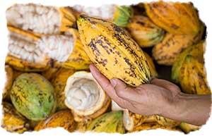 A Farmer holding a cacao pod over a pileof open cacao pods
