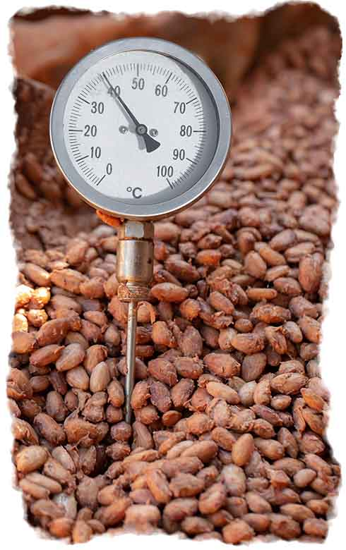 The cacao beans fermenting with a temperature monitor