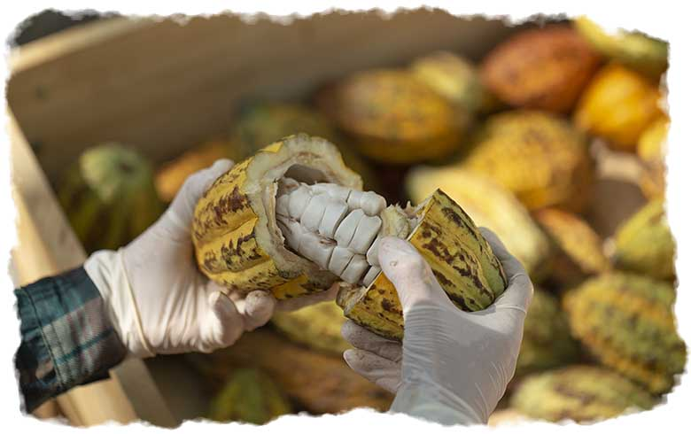 A farmer opening a cacao pod to show the beans inside