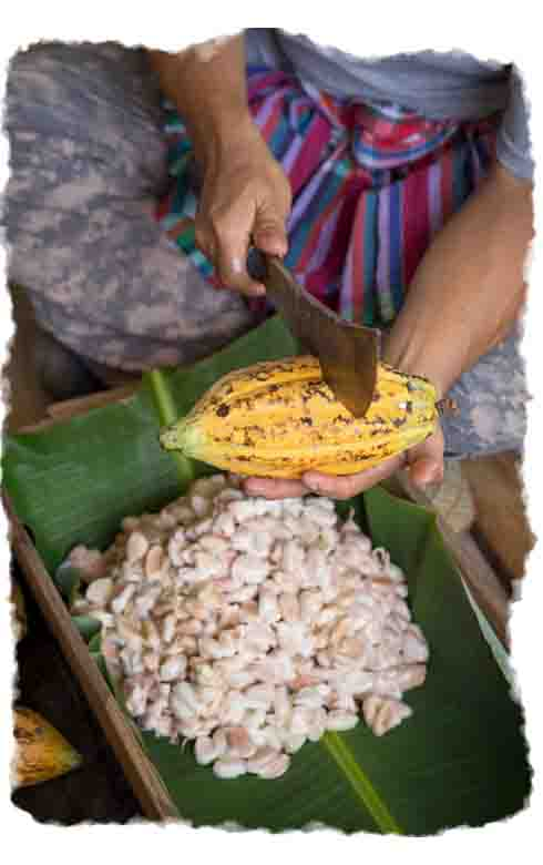 A farmer cutting open a cacao pod to get the beans.